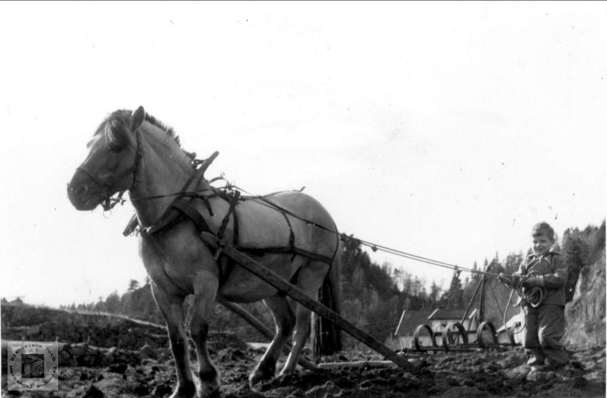 Harving med hest. Ånen Laudal.