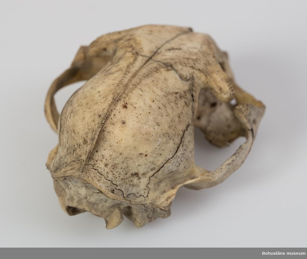 Defekt kranium. Tre tänder kvar i överkäken samt delar av ytterligare fyra. Ur handskrivna katalogen 1957-1958: Kranium av huskatt  Lappkatalog: