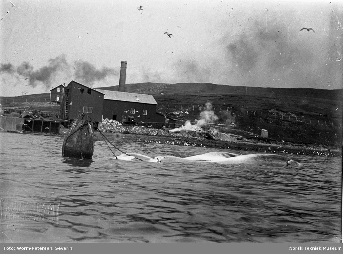 Hvalfangst, fangststasjon med fortøyet hval Spitsbergen, sommeren 1906