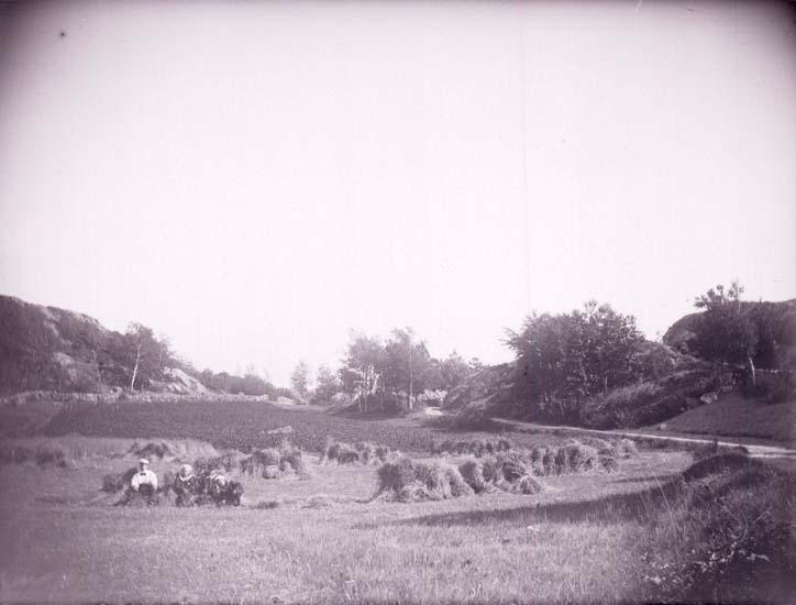 """Enligt text som medföljde bilden: """"Skaftö, Valter, Knut, Uno Bertil vid en Hafreskyl  13/8 1899""""."""