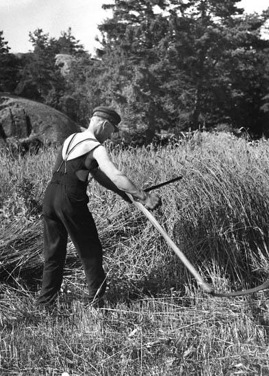 Johan Ludviksson (Olles far) mejar råg på Blötebogen.  Ca 1935.