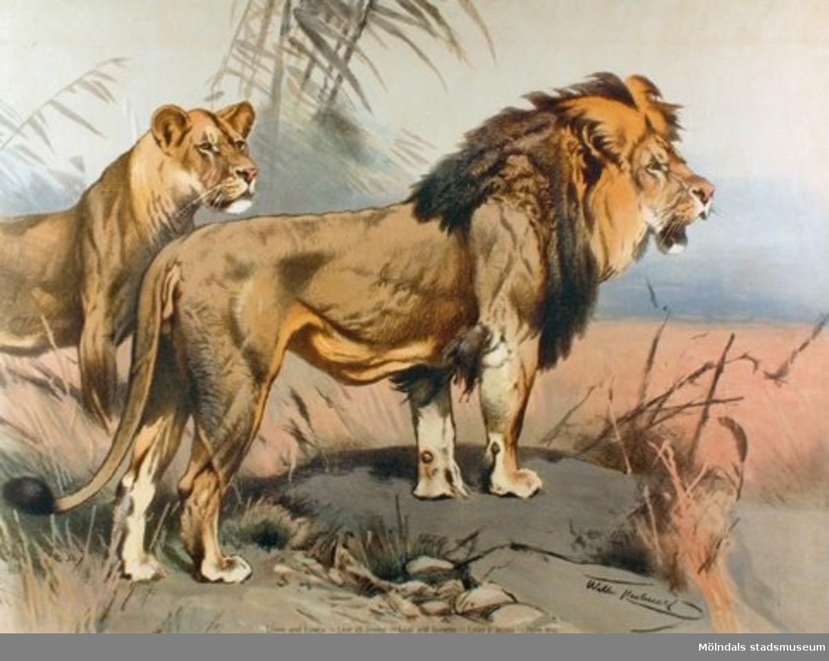 Biologi.Lejon.