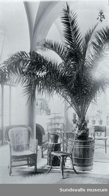 Interiör från blomsterrummet med palm. Merlo slott.