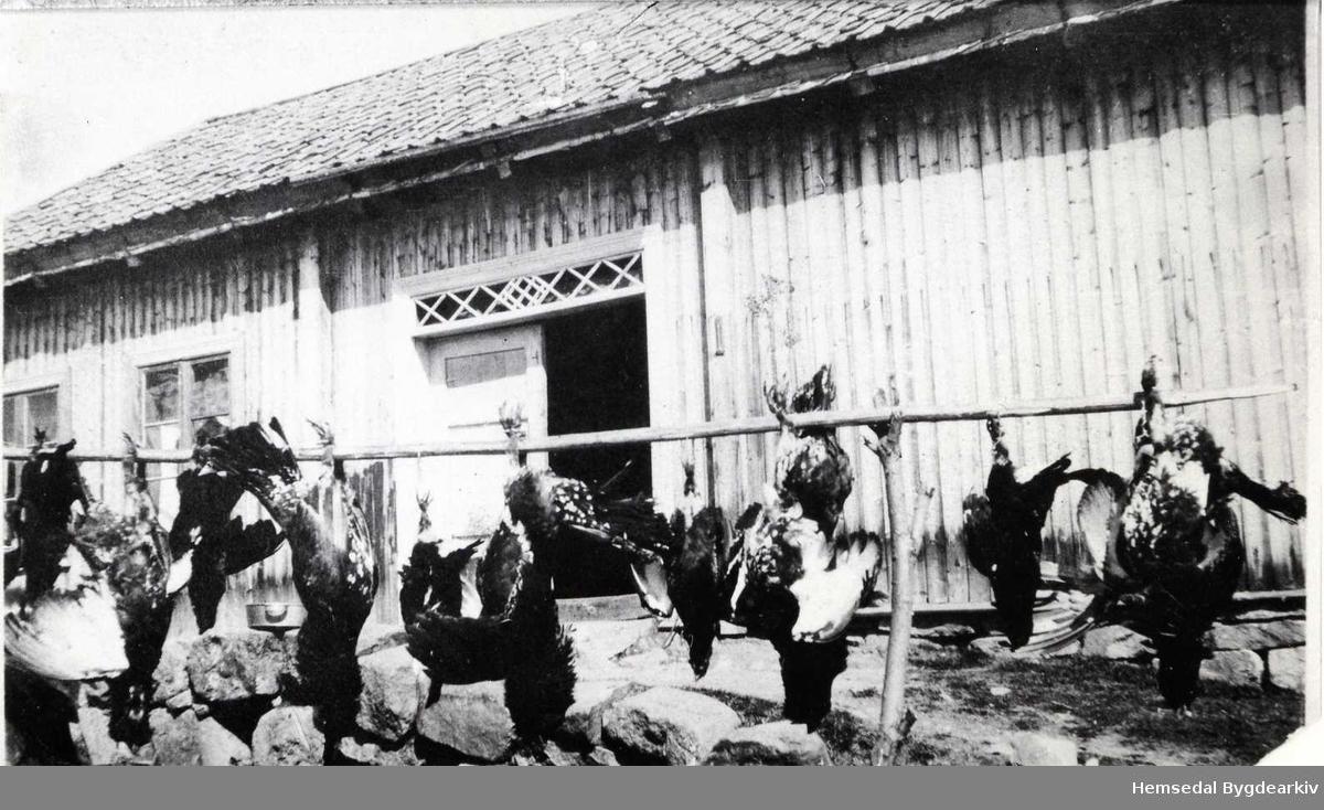 Orrfugl på Hjelmen, 52.10, i Hemsedal i 1929