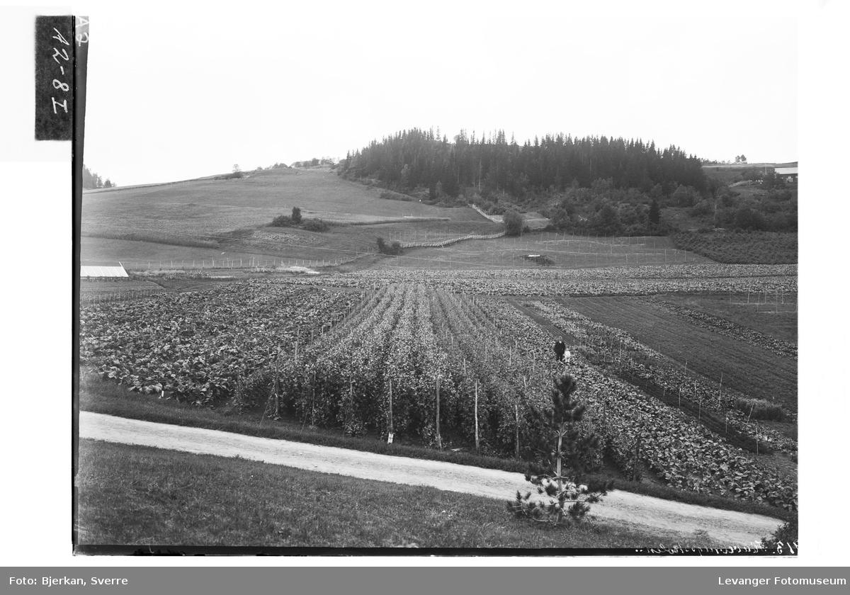 Fra Hylla Havebrugsskole. Grønnsaker og bær, oversiktsbilde over plantefeltet.