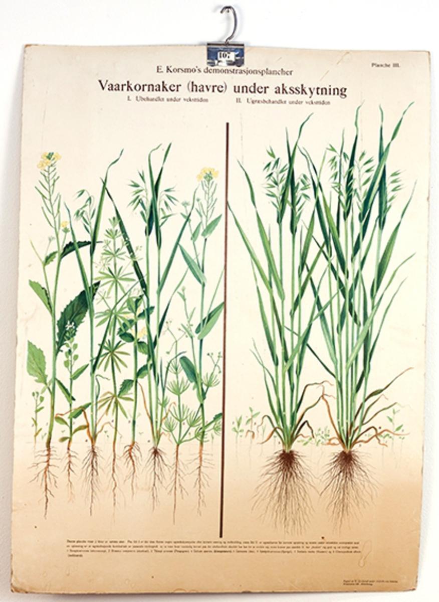 Rektangulær skoleplansje i fargetrykk. E. Korsmos demonstasjonsplancher nr. III; Vaarkornaker (havre) under aksskytning, 2 illustrasjoner. Kristiania, Grøndahl og søn.