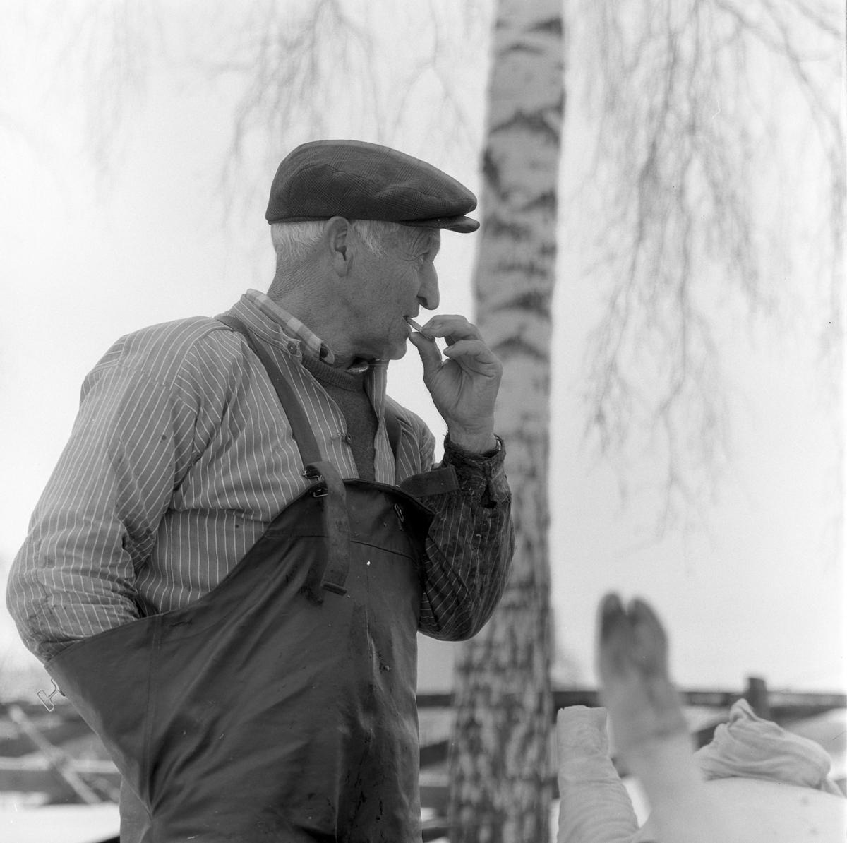 Dokumentasjon av griseslakting i 1977, på Lunde i Gaupen, Ringsaker. Bygdeslakter.  Bygdeslakter Johs. Rosenborg.