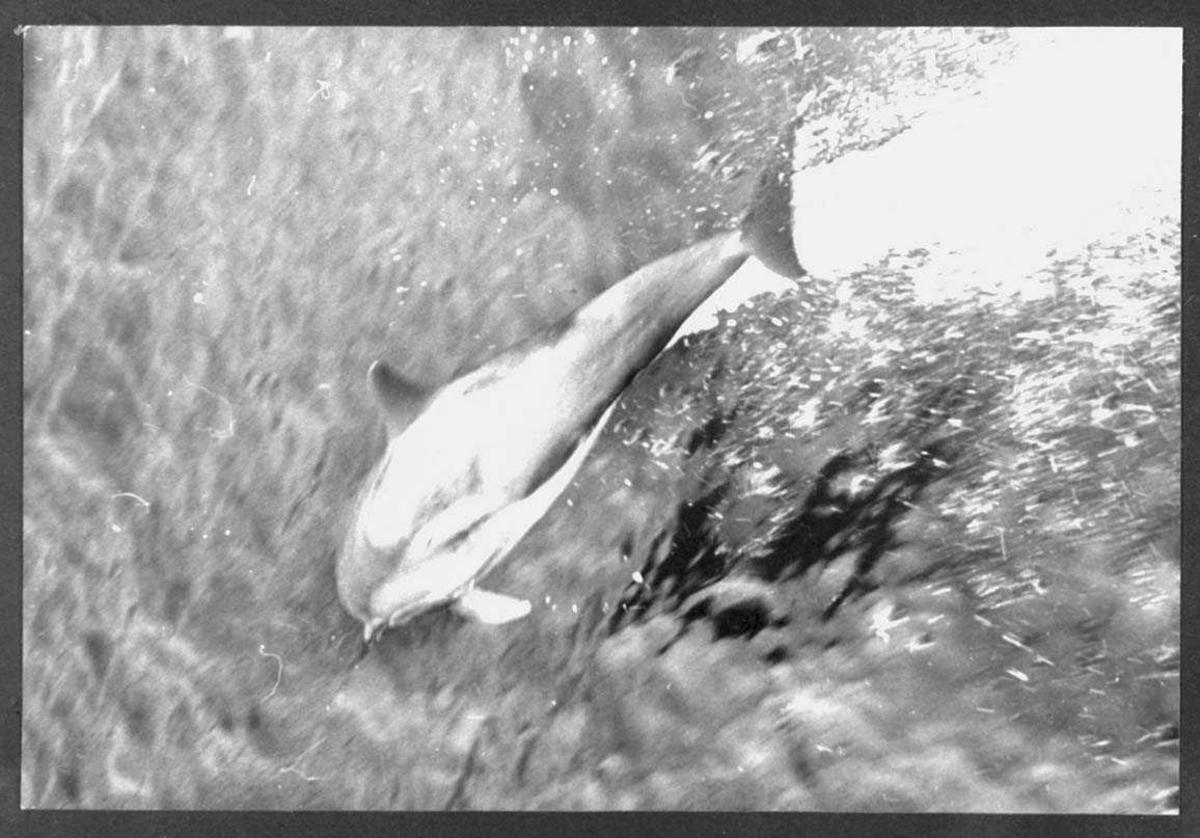 """Ombord i """"Polarbjørn"""". En delfin """"leker"""" ved skutesiden."""