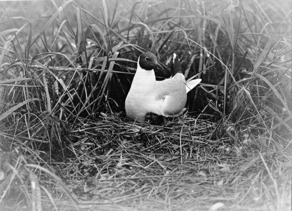 Skrattmås (Larus ridibúndus) 5/7-1925.