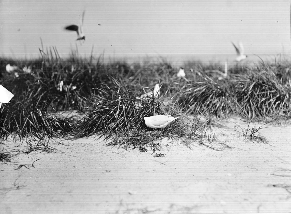 Skrattmås (Larus Rdibúndus) 31/5-1914.