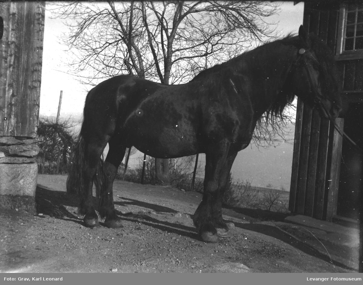 Husdyr, sort hest