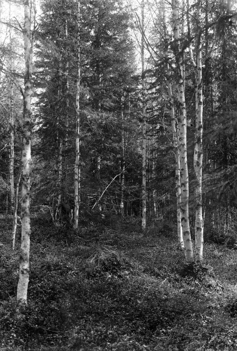 Biotop för sparvhök, (Astur) Accipiter nisus                                                Önet, Nälden 31/5 1925 Jämtland         Boplats markerad med pil och prick      Foto N. Nilsson