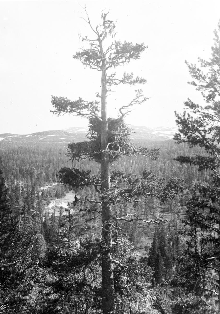 Bo av Kungsörn (Aquila chrysaetos) 25 Juni 1938.