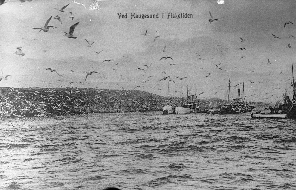 Fra vårsildefisket i Haugesund. Tre fiskebåter/dampskip til høyre. Mange fugler, antakelig måker på bildet, spesielt til venstre. Fjell i bakgrunnen.