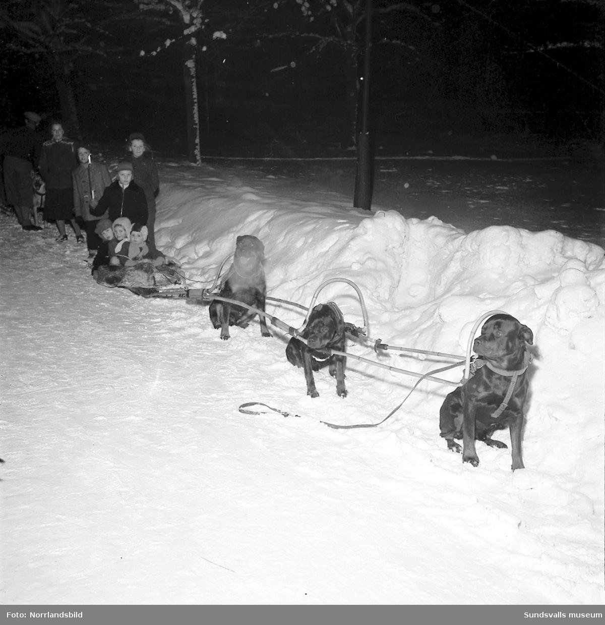Barn får åka pulka efter draghundar i centrala Sundsvall i samband med draghunds-SM.