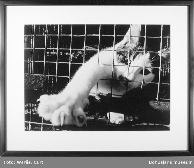 En katt i bur. Så småningom skall den säljas som experimentdjur. Kattfarm i mellersta Bohuslän i oktober 1975.