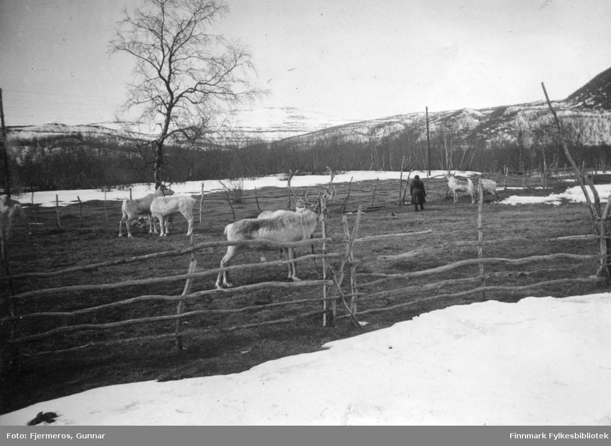 Flere reinsdyr står i en innhengning på Levajok Fjellstue. Bildet er tatt i april/mai 1948.