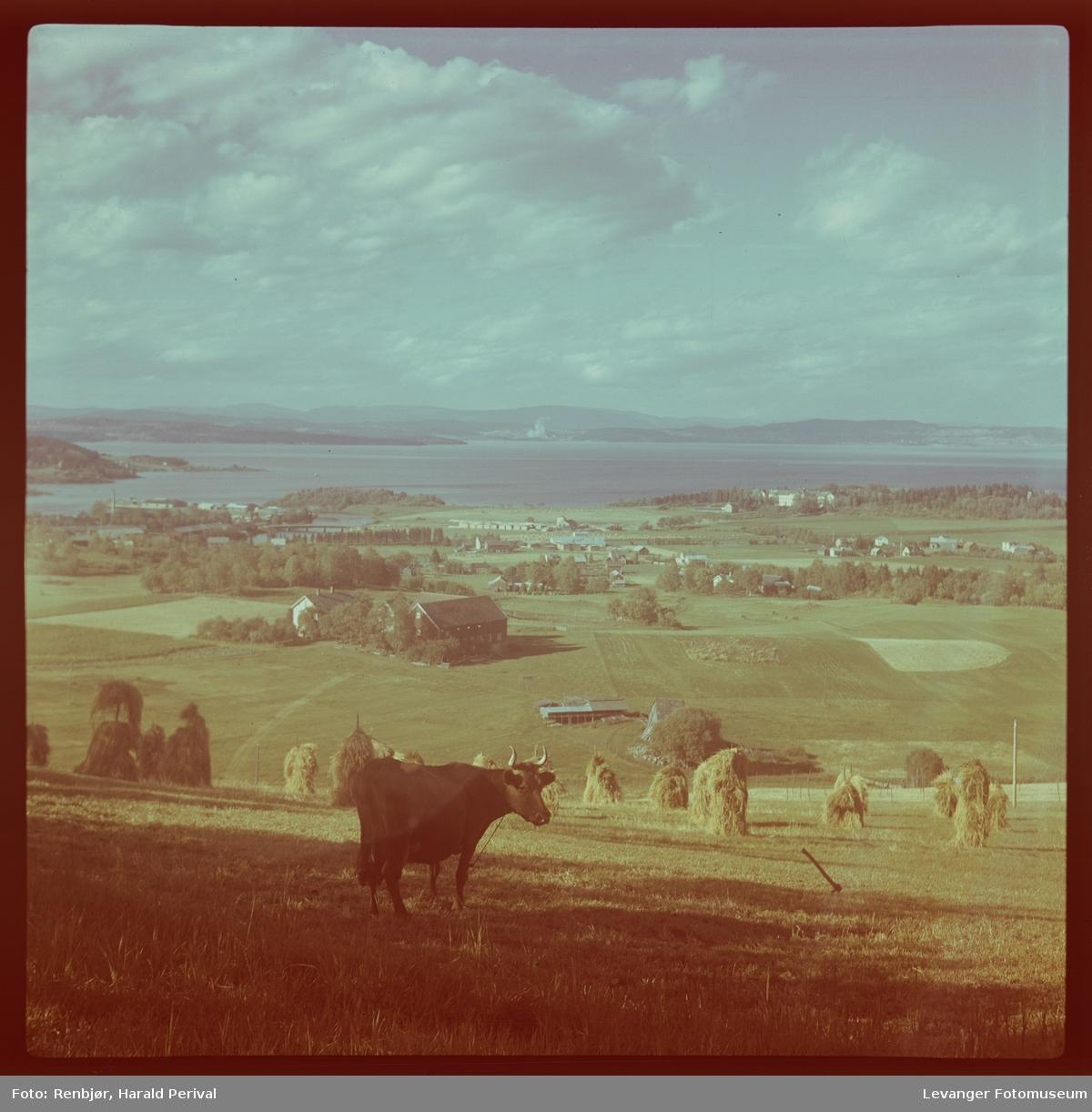 Ku i kulturlandskap, utsikt i Levanger fra Geite.
