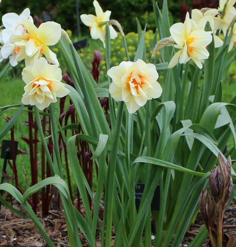 GH 2007 04 Narcissus 'Insulinde' (Foto/Photo)