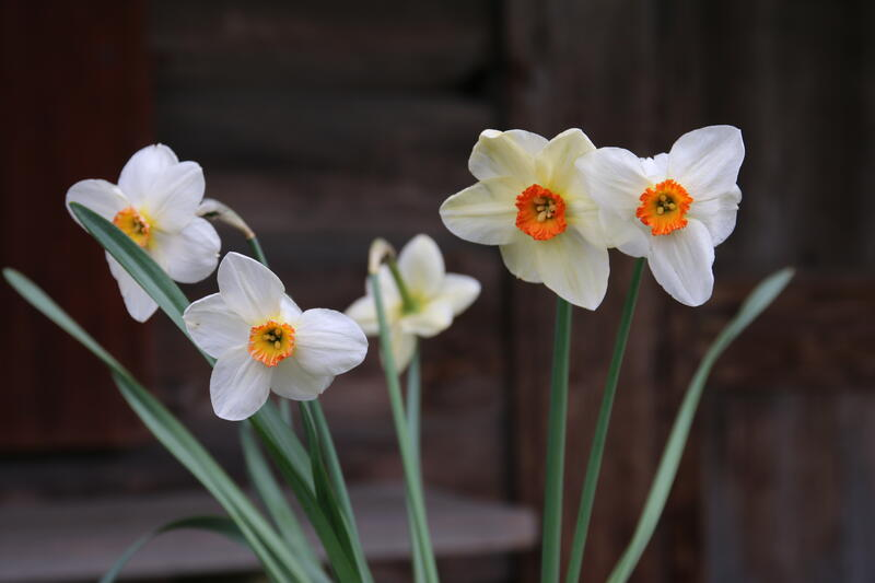 Narcissus 'Daytona' (Foto/Photo)