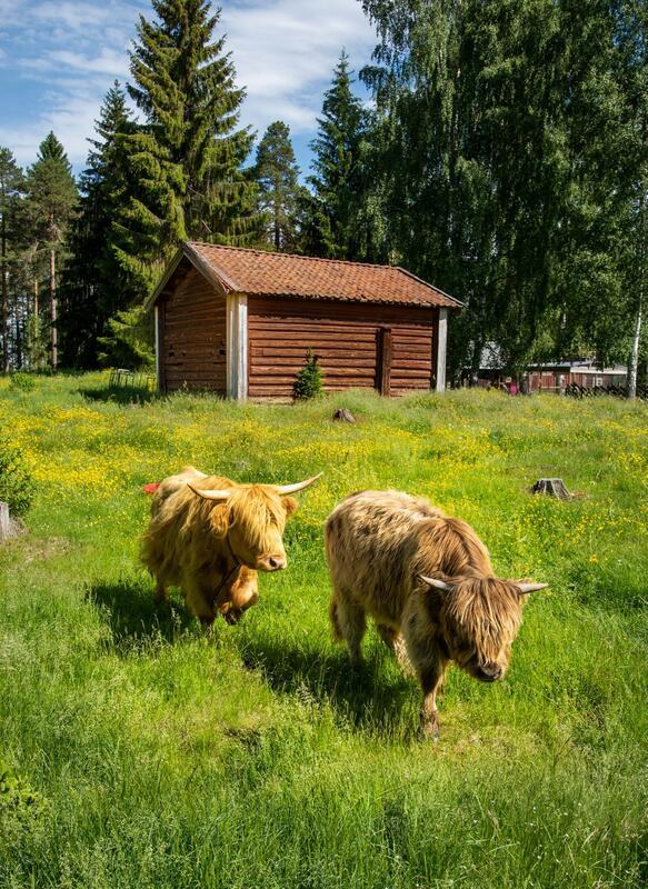 Skotsk høylandsfe (Foto/Photo)