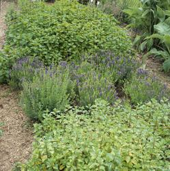 Urtehagen på Ormelet, et mangfold av urter. Illustrasjonsbil