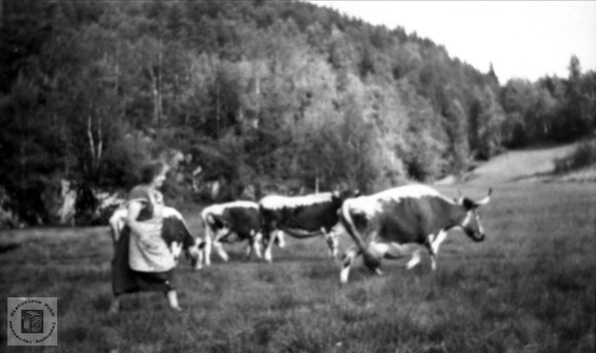 Kyrne skal inn til melking, Røynesdal Bjelland.