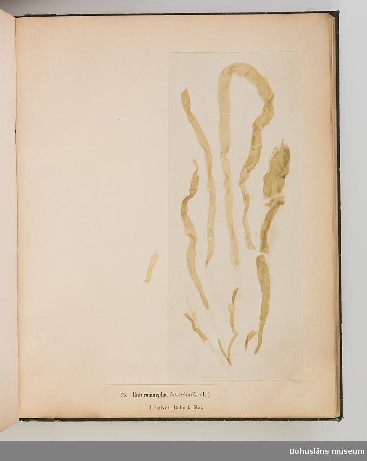"""Bokverk med pressade alger. Sophia, född Areschoug, gift med John Åkermark. Syster till botanisten John Areschoug, född 1811 i Göteborg, död 1887, professor i botanik i Uppsala 1849, arbetade särskilt som algolog och gjorde specialstudier därav särskilt i Bohuslän.  Den inbundna samlingen består av 100 alger tagna ur havet längs Bohuslän. Samtliga försedda med vetenskapliga namn samt i vilken månad de samlats in.  Försättsblad med texten """"Typ-Samling af Skandinaviens Alger innehållande 100 arter utgifven af Sophia Åkermark, Götheborg. Tryckt, hos C. Petersen 1870"""".  På främre pärmens insida: """"L W Levin. Bokbindare, Uppsala Swedsgränd No 12""""."""