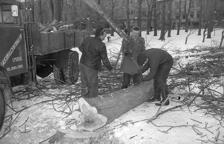 """Enligt fotografens notering: """"Trädfällning i i Lysekils park""""."""