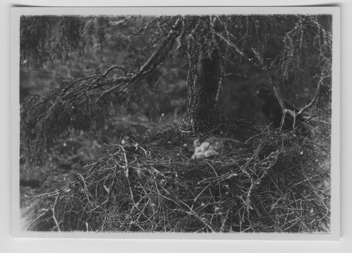 'Ormvråk vid boet med ungar, i en gran. ::  :: Text på baksidan av fotot ''Såväl Buteo buteo som vulp. intermedina häckfåglar på Åland. Och den förra likväl allmännare (enligt undersökning 1929.) ::  :: Se serie med fotonr. 3151-3200. Se även fotonr. 1771-1837.'