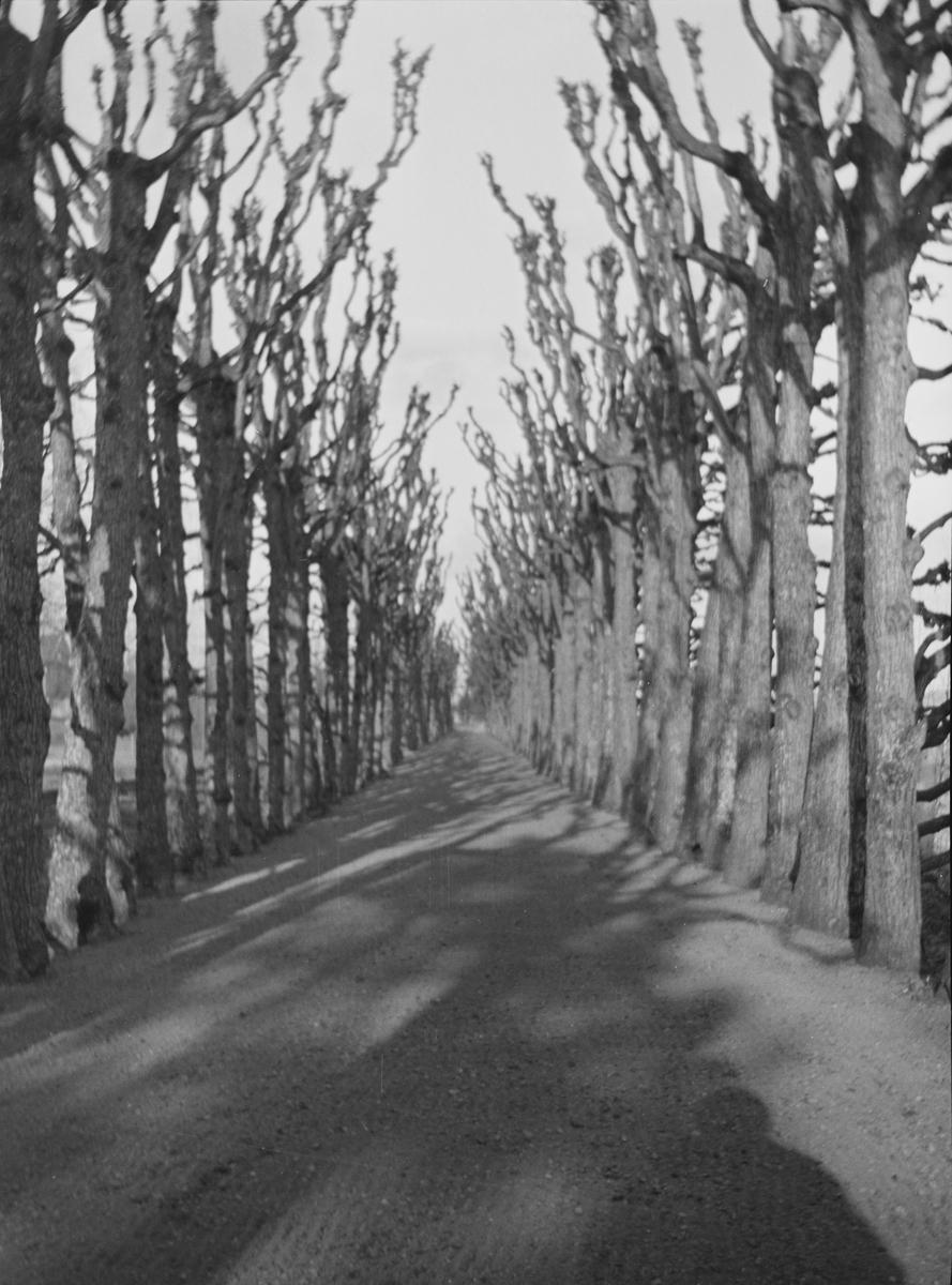 På Linderud Gård har de flere alléer. Dette er sannsynligvis Lindehallen. Der er trærne klippet slik at løvverket om sommeren lager et tak over veien. Så kunne man spasere i skyggen selv om solen skinte. Her sees forøvrig skyggen av en person i det ene hjørnet. Antakelig er bildet tatt om våren.