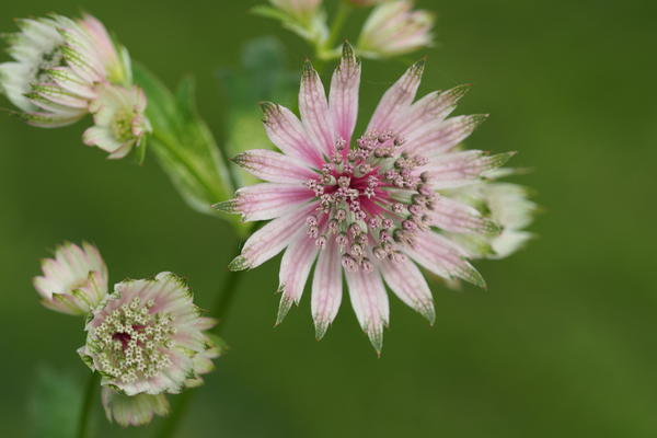 Stor stjerneskjerm (Astrantia major). Foto/Photo