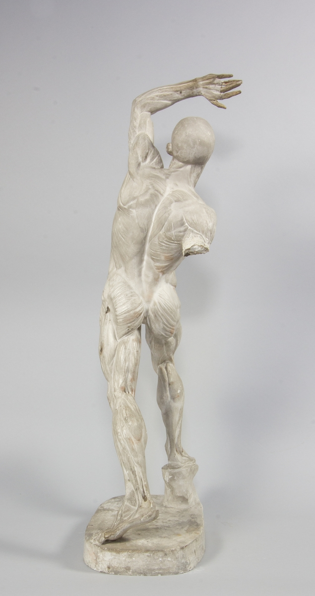 Man i helfigur, stående. En arm lyft över huvudet. Muskler och senor väl utarbetade. Anatomisk modell.