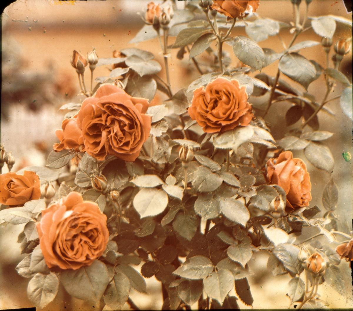 Stilleben blommor i färg. Tre separerade fotografier av samma motiv, på glas i komplementfärgerna rött, gult och blått för framkallning av färgbild.
