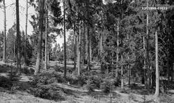 Skogbestand i Vestbyskogen i Sørum i Akershus, fotografert i