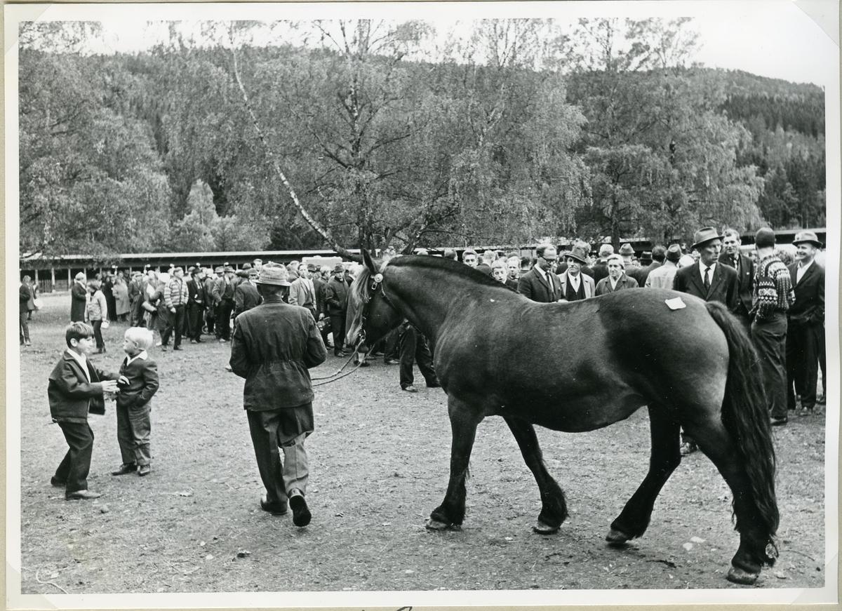Pokalutdeling til elitedyr av hest.