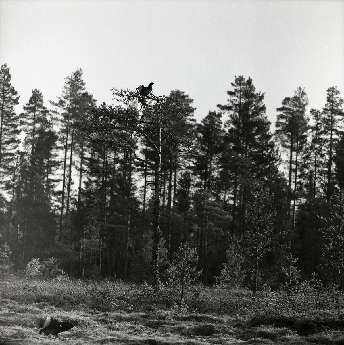 Det är en solig dag i april 1960 och en tjädertupp springer längs gräset i förgrunden. Bakom den sitter ytterligare en tjädertupp i toppen av ett träd. Marken runt tjädrarna är öppen med endast små tallar och gräs som växtlighet. Bakom den öppna ytan växer en gles tallskog.