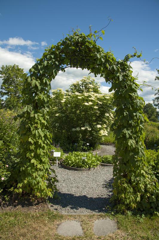 Bueinngang til hagen; bevokst med humleplanter. (Foto/Photo)