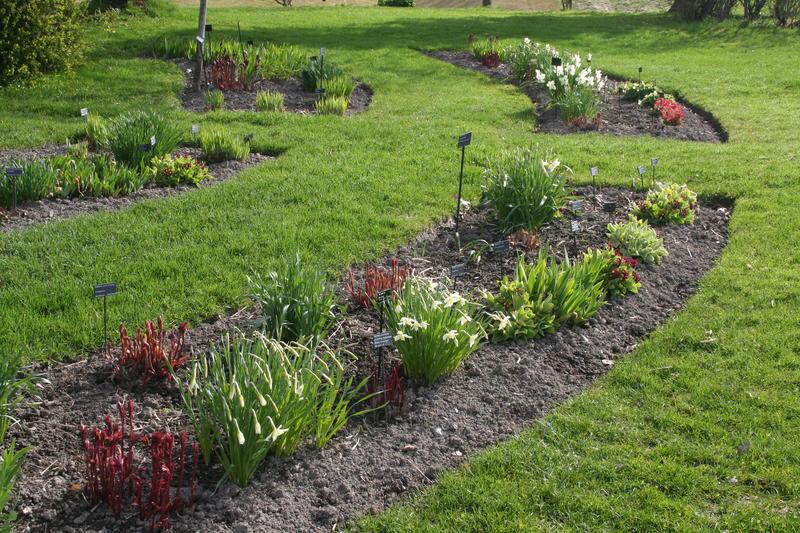 Flere ulike narsisser i blomst på sørsida av Gulbygningen i midten av mai.
