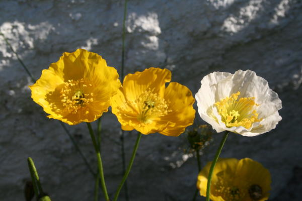 Papaver croceum. Foto/Photo