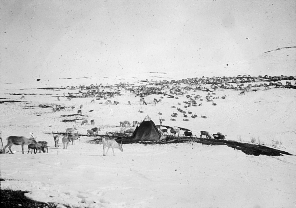 Reinflokk. Reindriftslandskap med en flokk reinsdyr og reingjeterens telt i midten av bildet. Det er vinter og snø på bakken, men med flekker av bar mark. Reinen beiter på Finnmarksvidda.