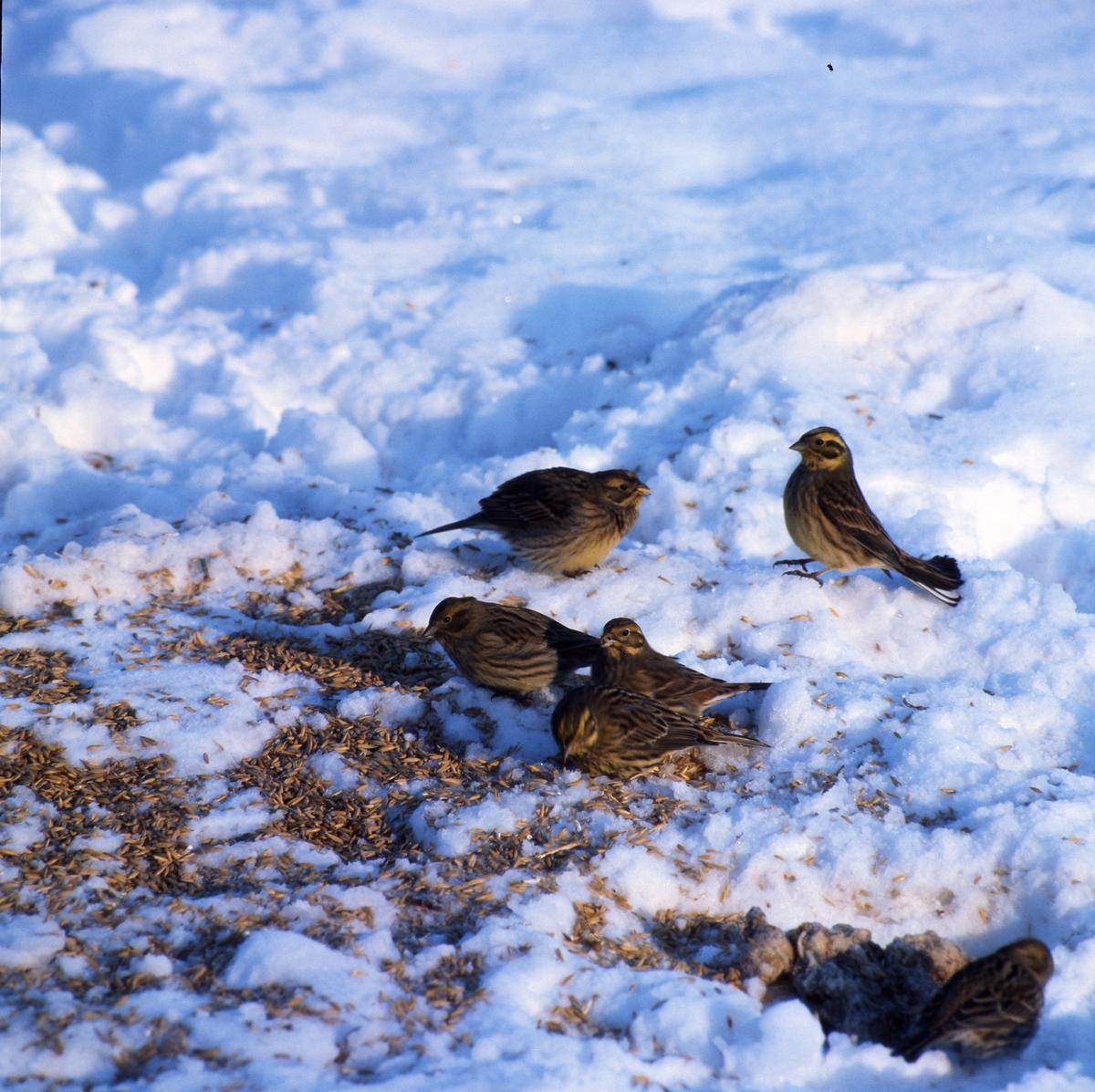 En flock småfåglar sitter på marken i snön och äter frön.