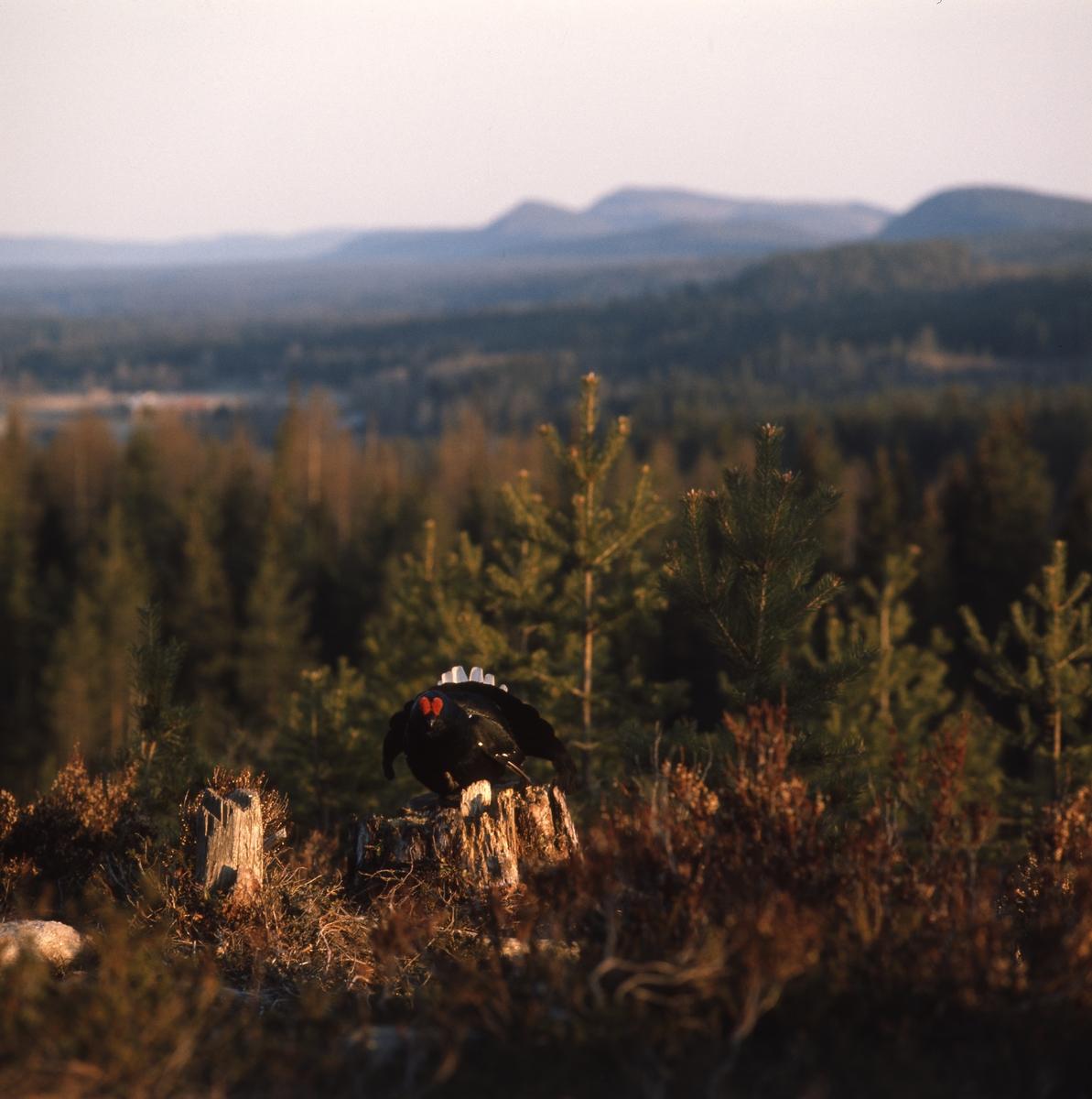 Orrtupp sitter på en stubbe i skogen.