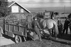 Transport av hest med lastebil ved Hærens Hesteskole på Star