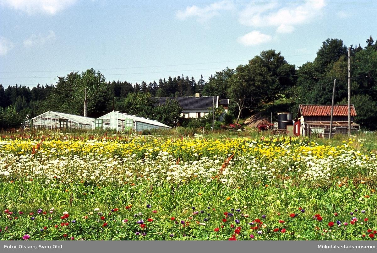 Bebyggelse och blomsterodlingar på Östergården 2 i Eklanda, Mölndal, år 1964.