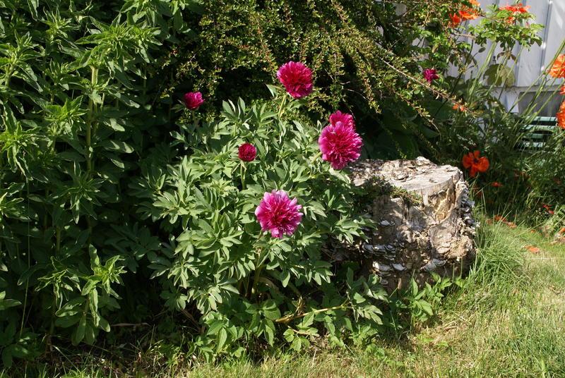 Dette eksemplaret i en hage i Sandnes i Rogaland kommer opprinnelig fra en hage på øya Bokn. Hun som har den fortalte at hennes mor alltid fikk en bukett med slike blomster til fødselsdagen sin. (Foto/Photo)
