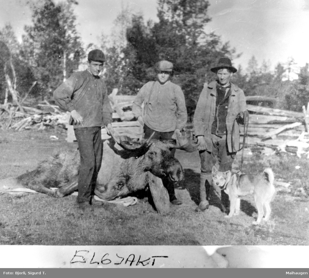 Elgjakt Elgjakt. 3 personer med skutt elgokse og hund. Bjorliområdet