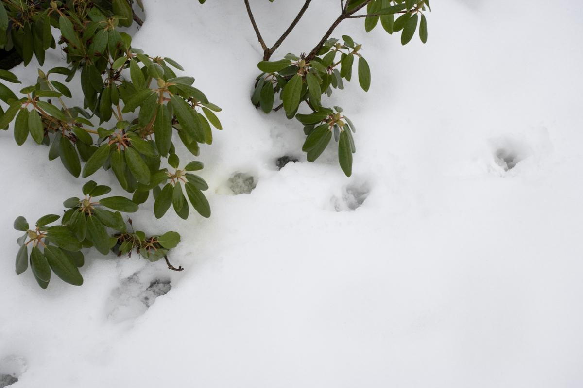 Hunden Balders spor i snøen.