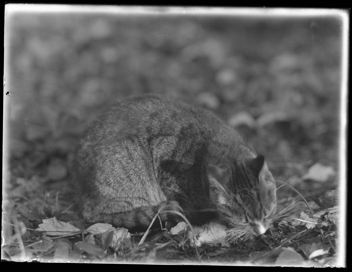 Katten Lisa