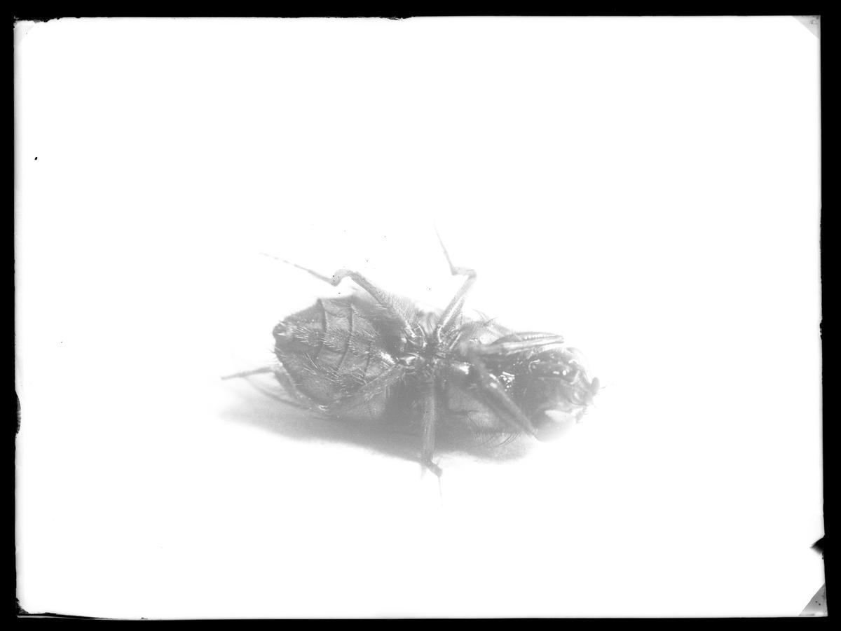 En död husfluga.